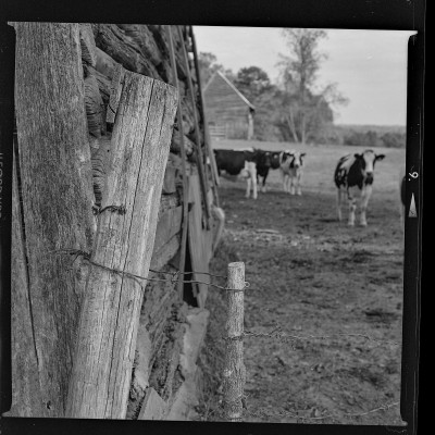 Old Barns with Cows